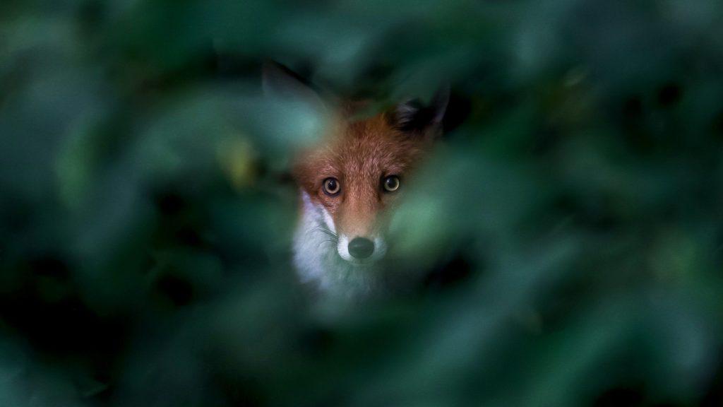 Fox peeping through leaves